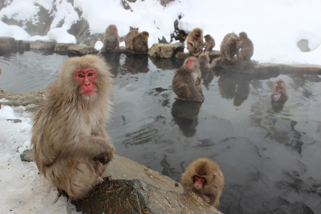 snow-monkeys-1394883_1280